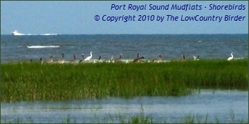 Pelicans and Egrets - Port Royal Sound on HHI