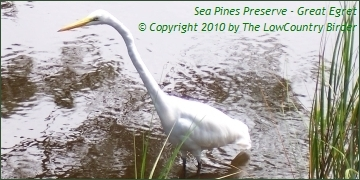 Great Egret - Sea Pines