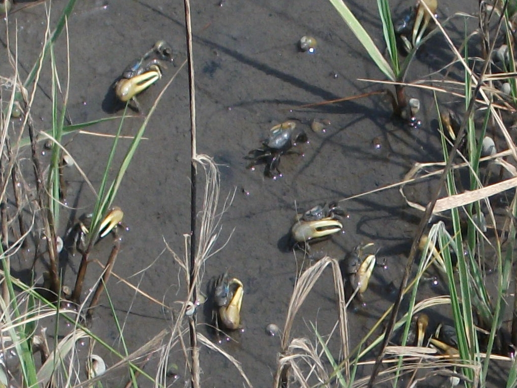 The LowCountry BirderFiddler Crabs in Fish Haul Creek Salt ...