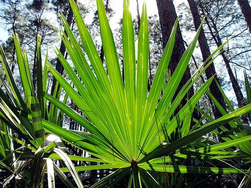 ... BirderAudubon Newhall Preserve Saw Palmetto - The LowCountry Birder