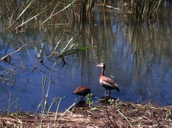 Black-Bellied Whistling Ducks at Savannah NWR