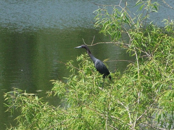 Little Blue Heron - Nature in My Back Yard