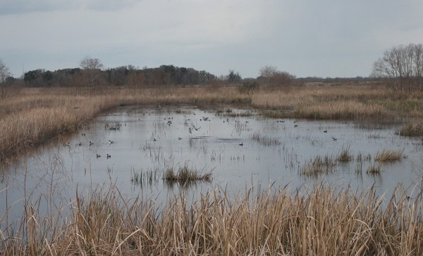 Savannah NWR impoundment with Shovelers and Blue-Winged Teal
