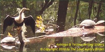 Anhinga and Yellow Slider Turtles - Sea Pines